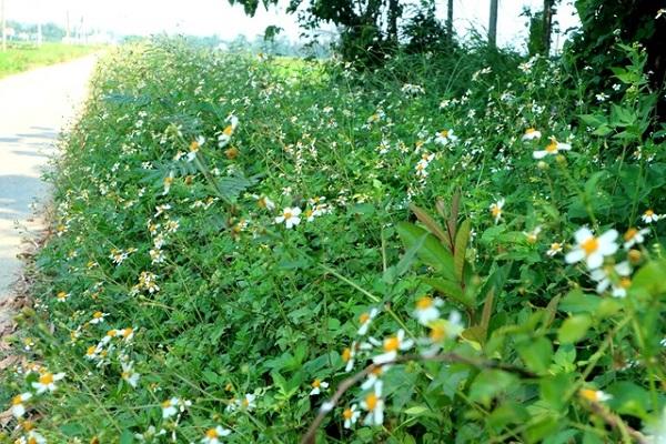 Hoa xuyến chi và tác dụng chữa bệnh của hoa này